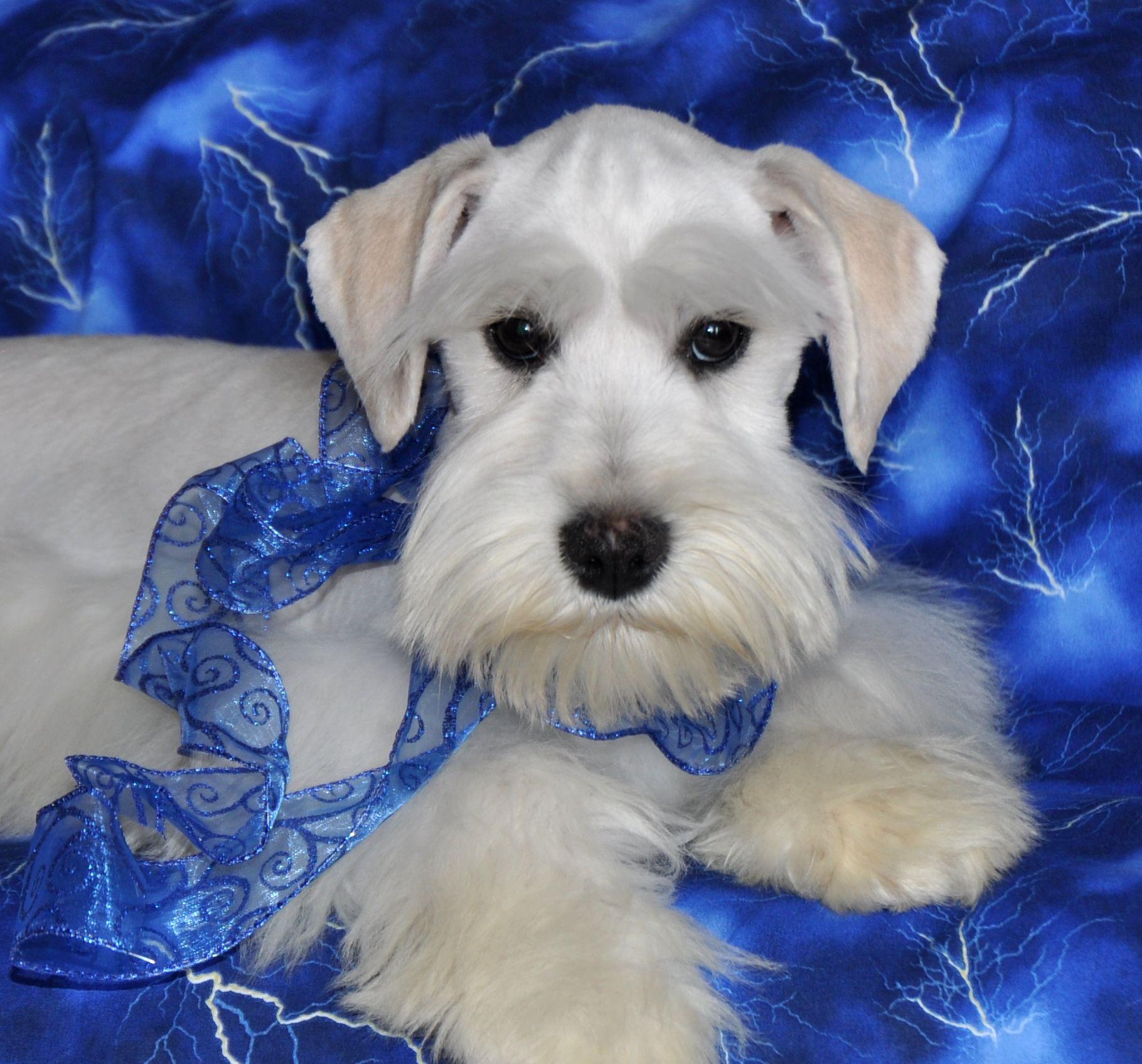 Schnauzer Puppy Colors Schnauzer Puppy Miniature Schnauzer White Schnauzer