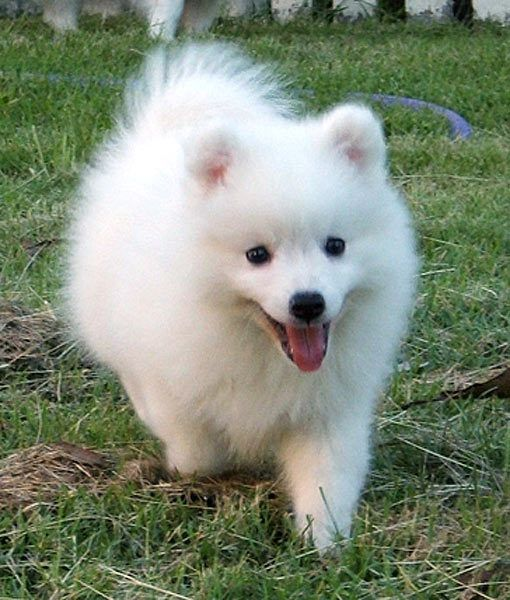 14 Favorite White Dog Breeds Mom Me Japanese Spitz Japanese