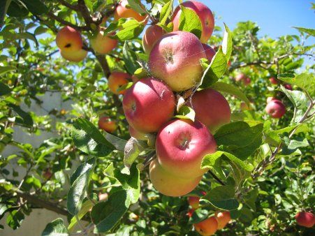 Apples How To Grow Apple Trees Fruit Trees Backyard Apple Tree Fruit