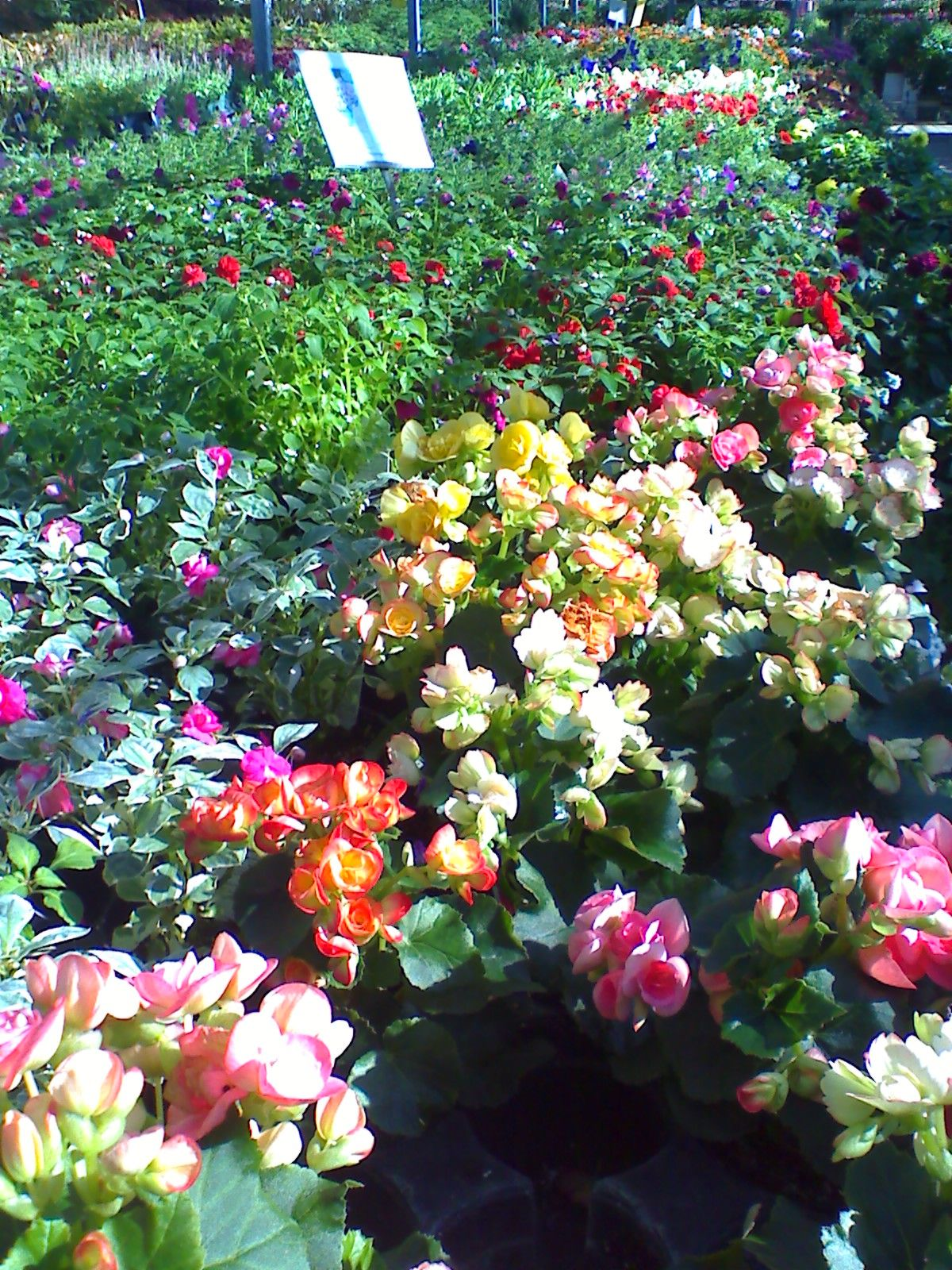 Begonias annual flowers pinterest florida gardening shrub and begonias izmirmasajfo