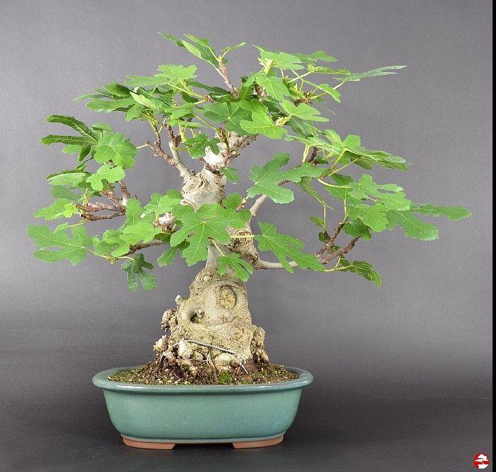 bonsai indoor subtropische bonsai ficus carica echter. Black Bedroom Furniture Sets. Home Design Ideas