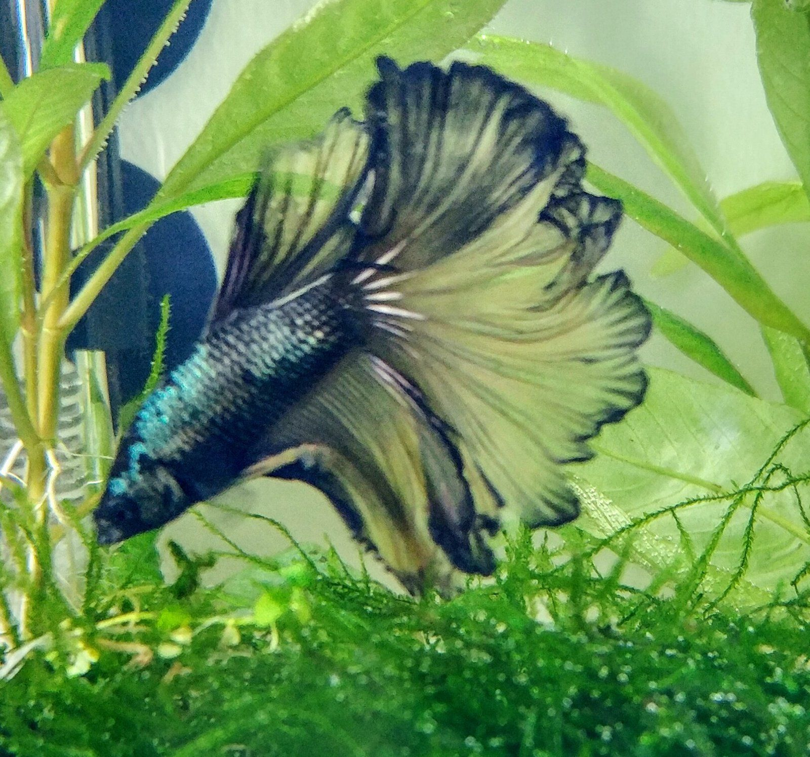 11+ Beautiful Type Of Betta Fish With Funny Facts And Pictures ...
