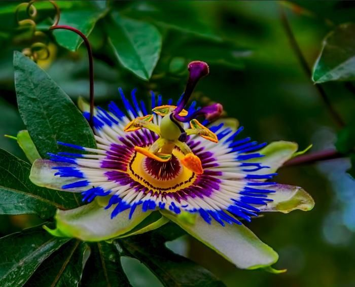 12 Multi Colored Flowers That Are Bursting With Beauty Passion Flower Colorful Flowers Rare Flowers