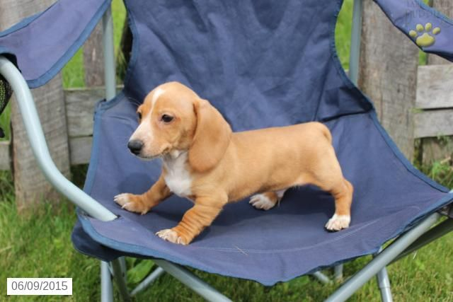 Dachshund Puppy For Sale In Ohio Buckeyepuppies Dachshund