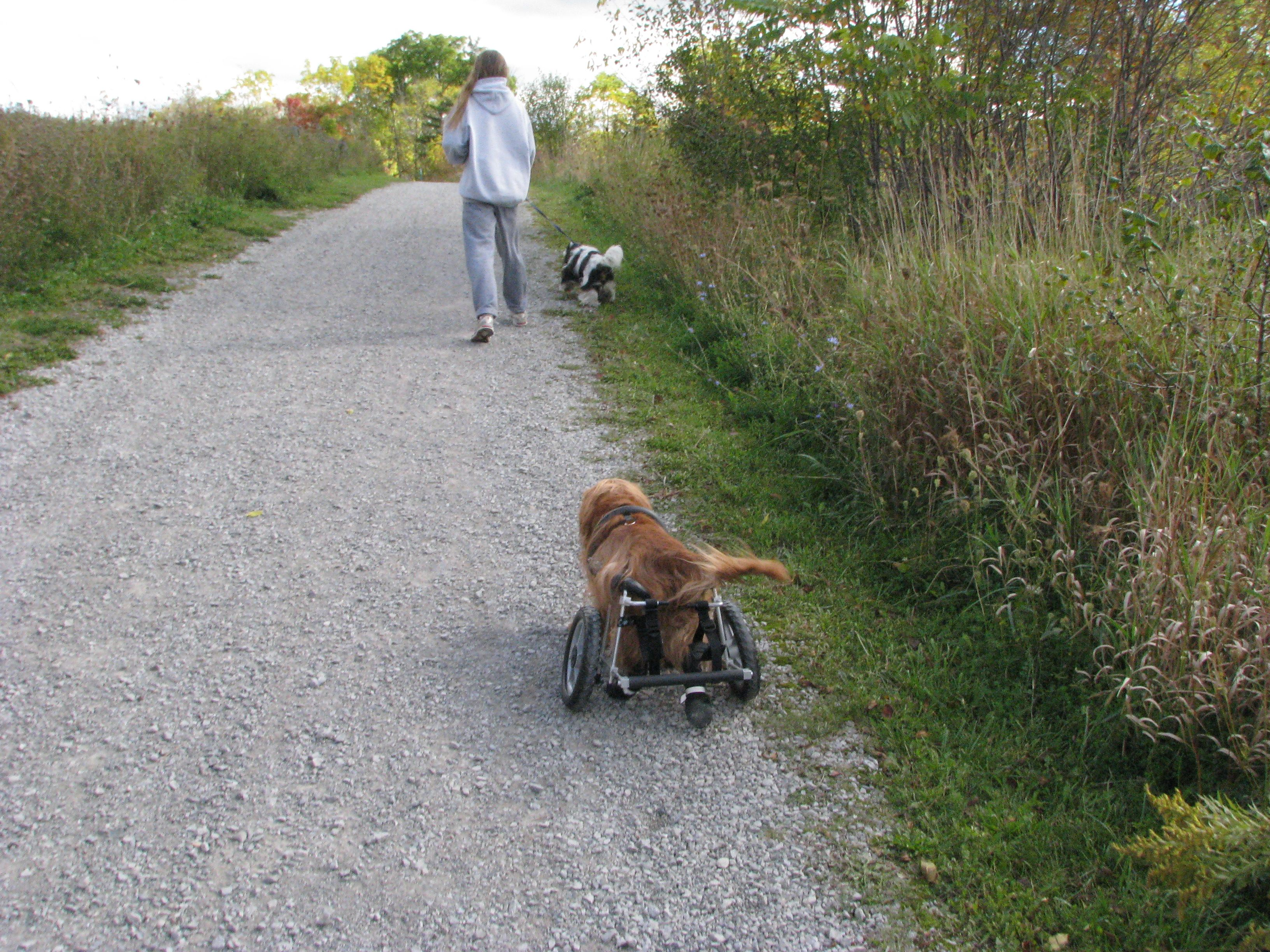 Charlie Going For A Walk In His Custom Built Eddie S Wheels Dog Wheelchair Dog Wheelchair Wonderful Picture Photo