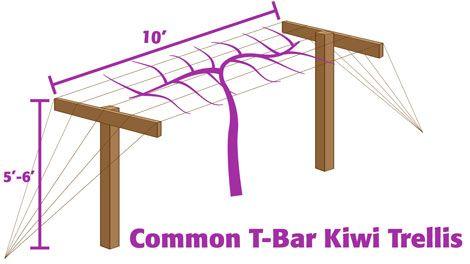 How to train a kiwi fruit tree into an espalier trellis or arbor