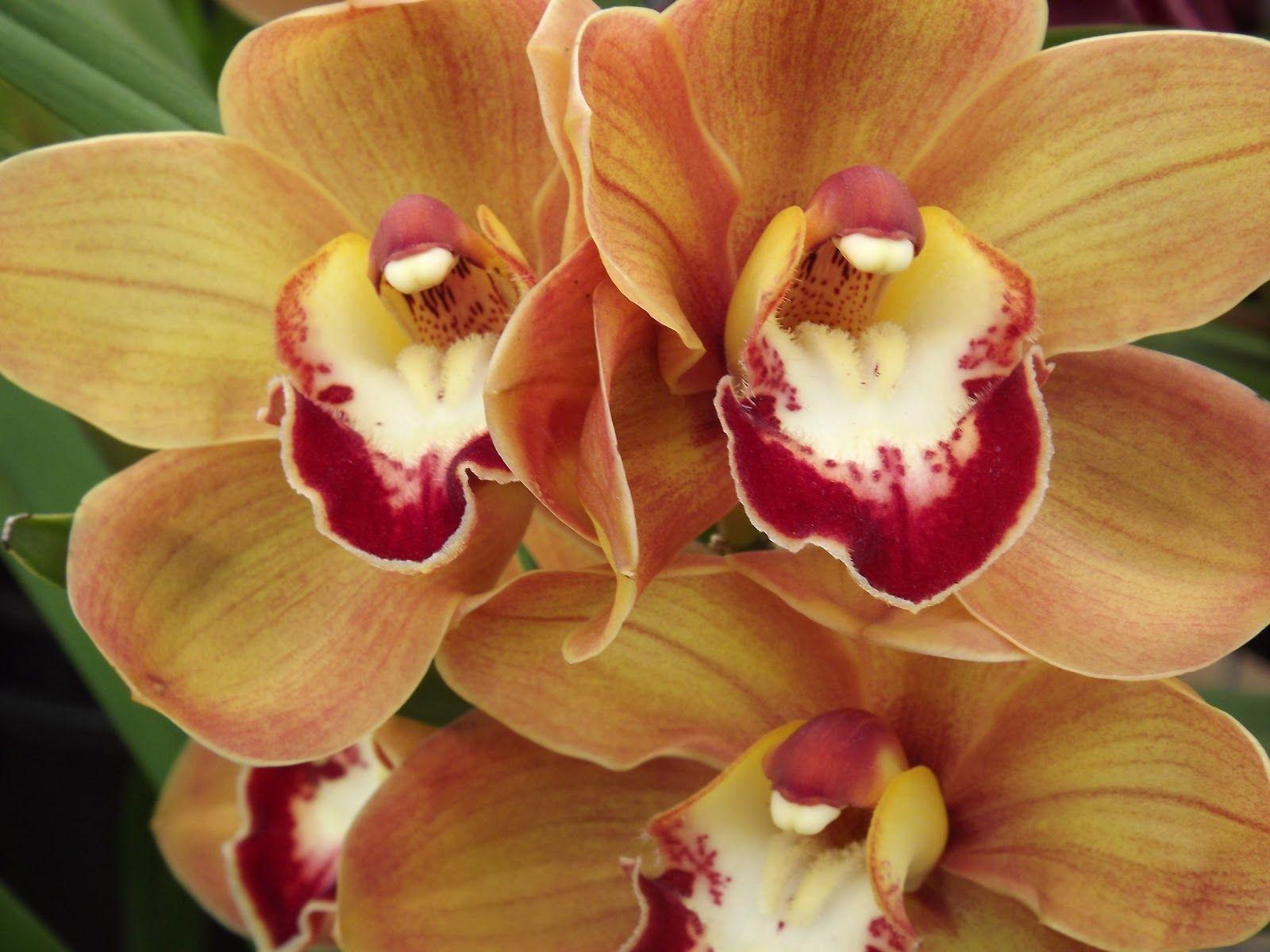 My Cymbidium Orange Tango Cymbidium Orchids Orchids Flowers
