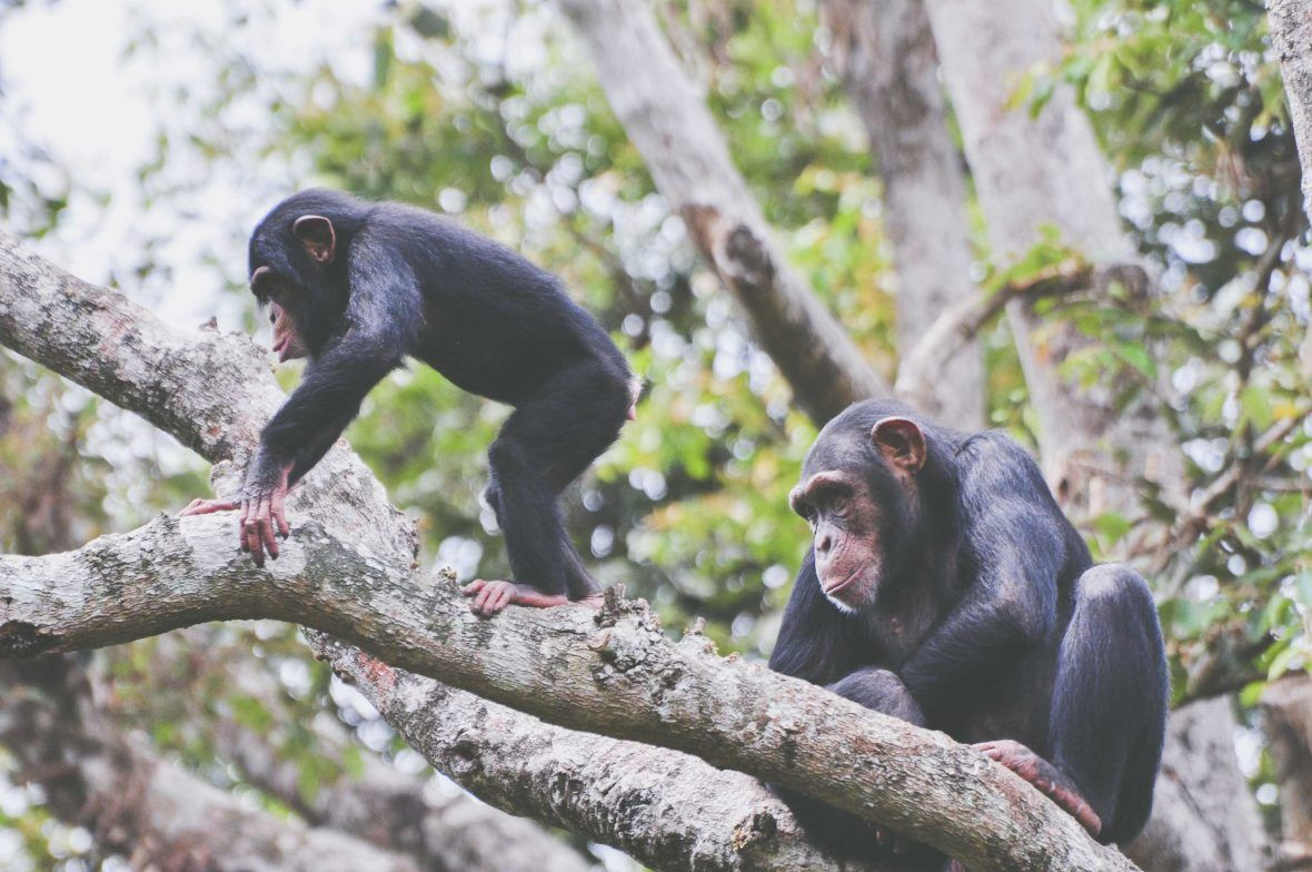 How The Chimp Became The Face Of Sierra Leone Tourism