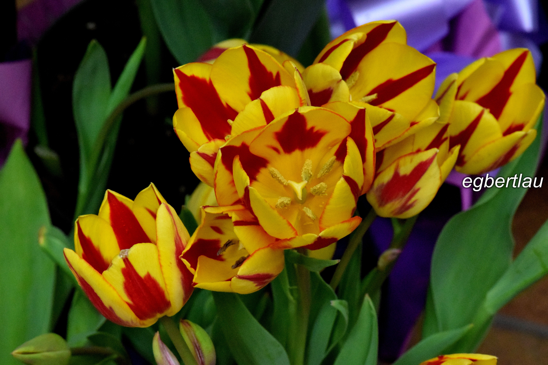dual-coloured tulips