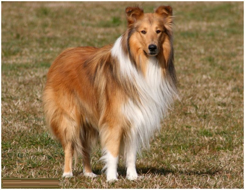 Rough Collie Rough Collie Dog Breeds Large Dog Breeds