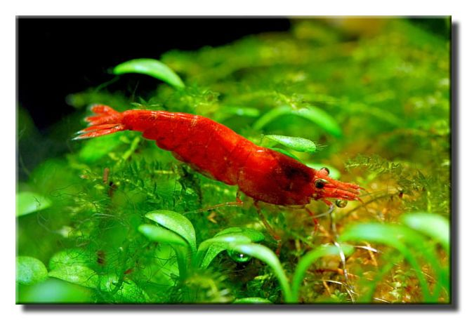 Red cherry shrimp tank mates for your betta betta fish for Tank mates for betta fish