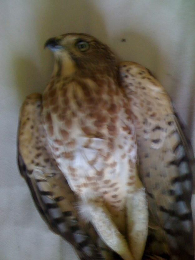 Post Free Ads Pakistan Sparrow Falcon For Sale Rawalpindi For More Details Visit Our Site Pets For Sale Pet Birds Dog Toys