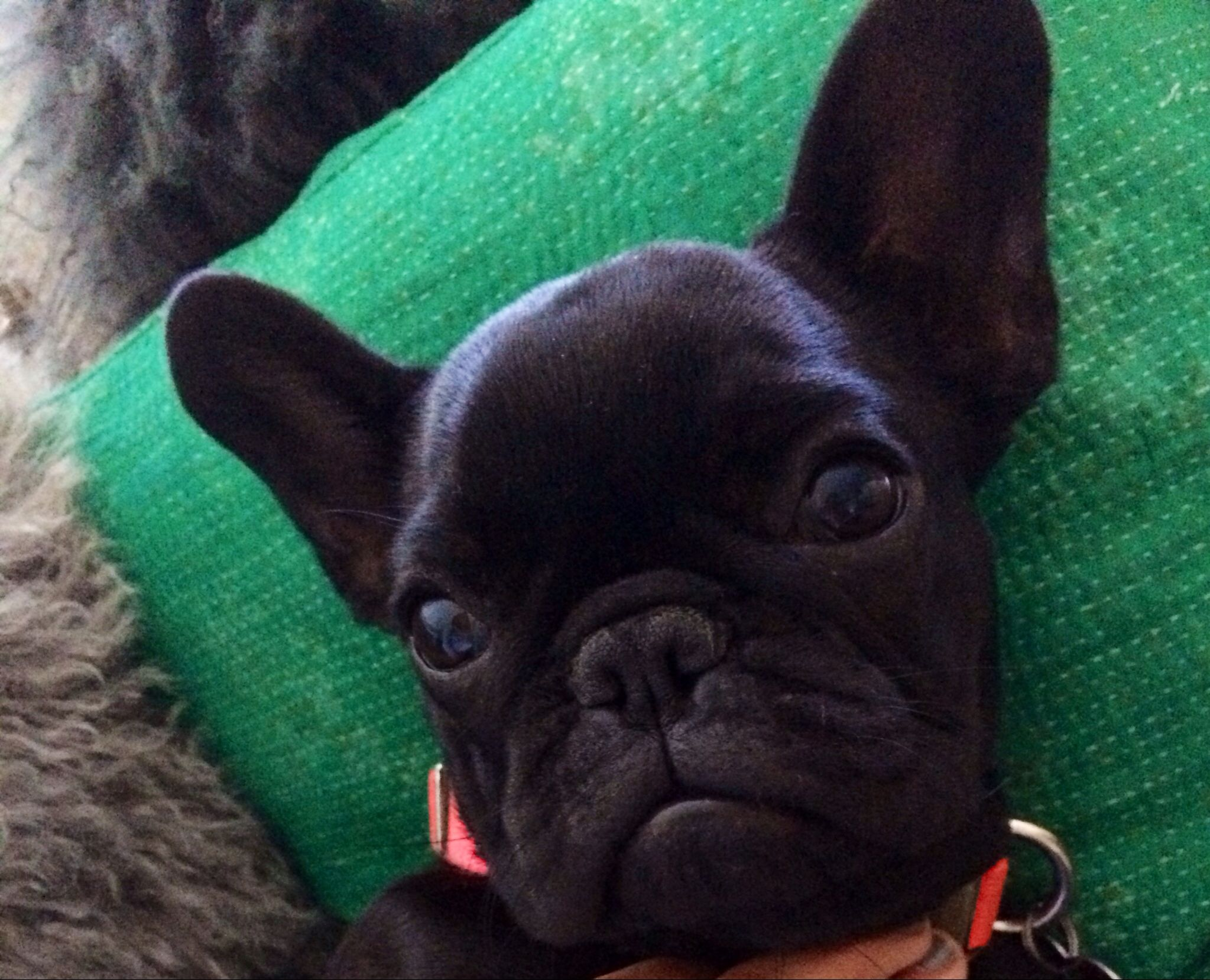5 Month Old Frenchie Cute Animals Cute French Bulldog Cute Puppies