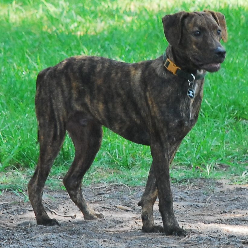 Treeing Tennessee Brindle - Dog Breed Standards | Treeing