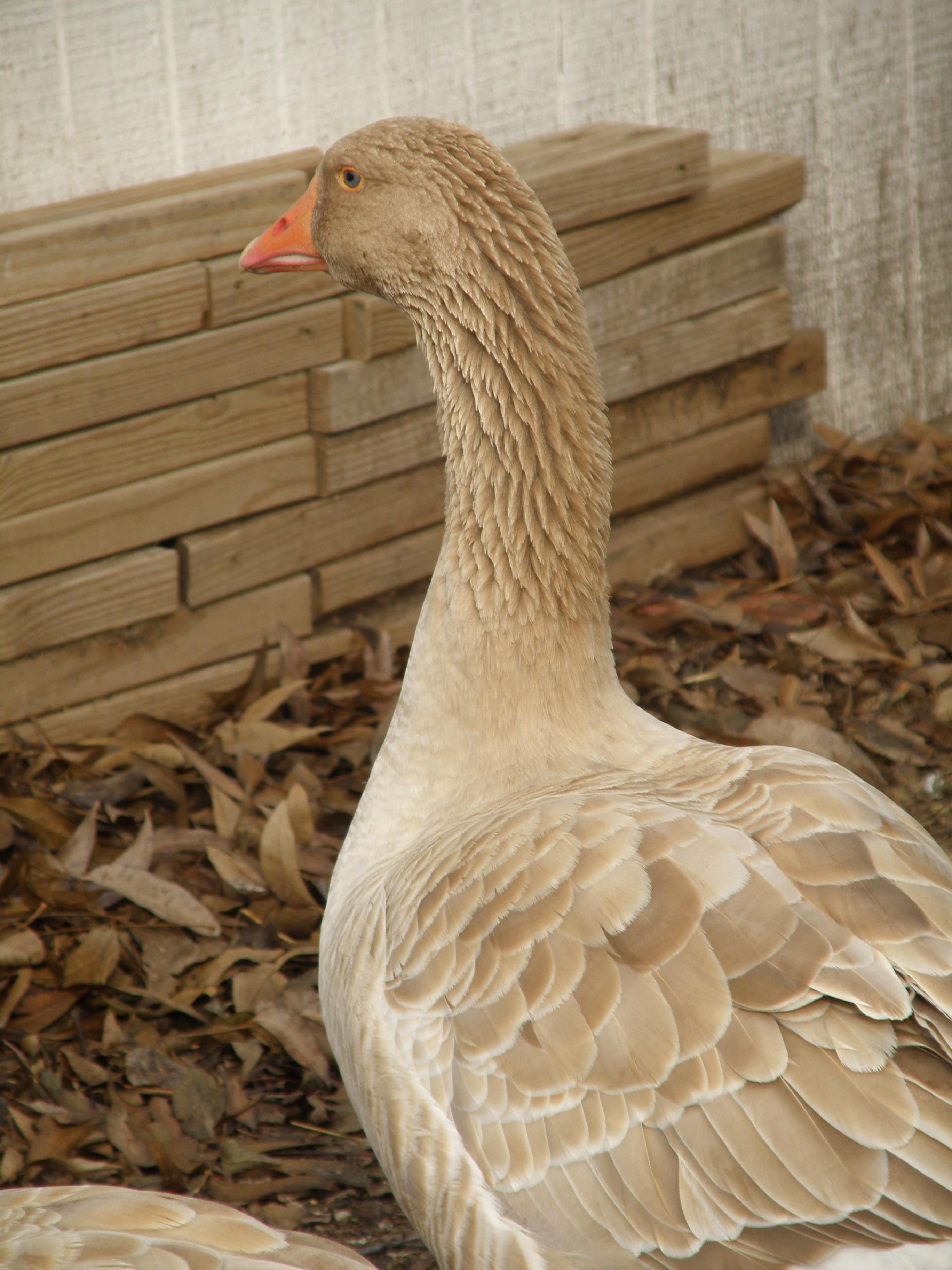 American Buff Geese One Of My Favorite Pix Goose Poultry Small Farm