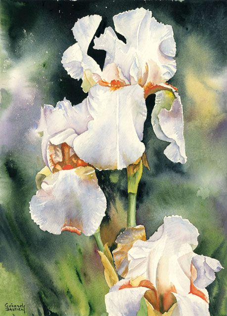 Aquarelle Iris Blanc Gerard Bastien Peinture Fleurs Idees De