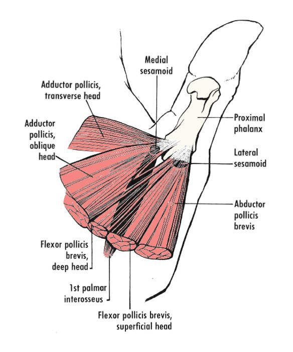 the intrinsic muscles of the thumb | upper limb | pinterest, Muscles