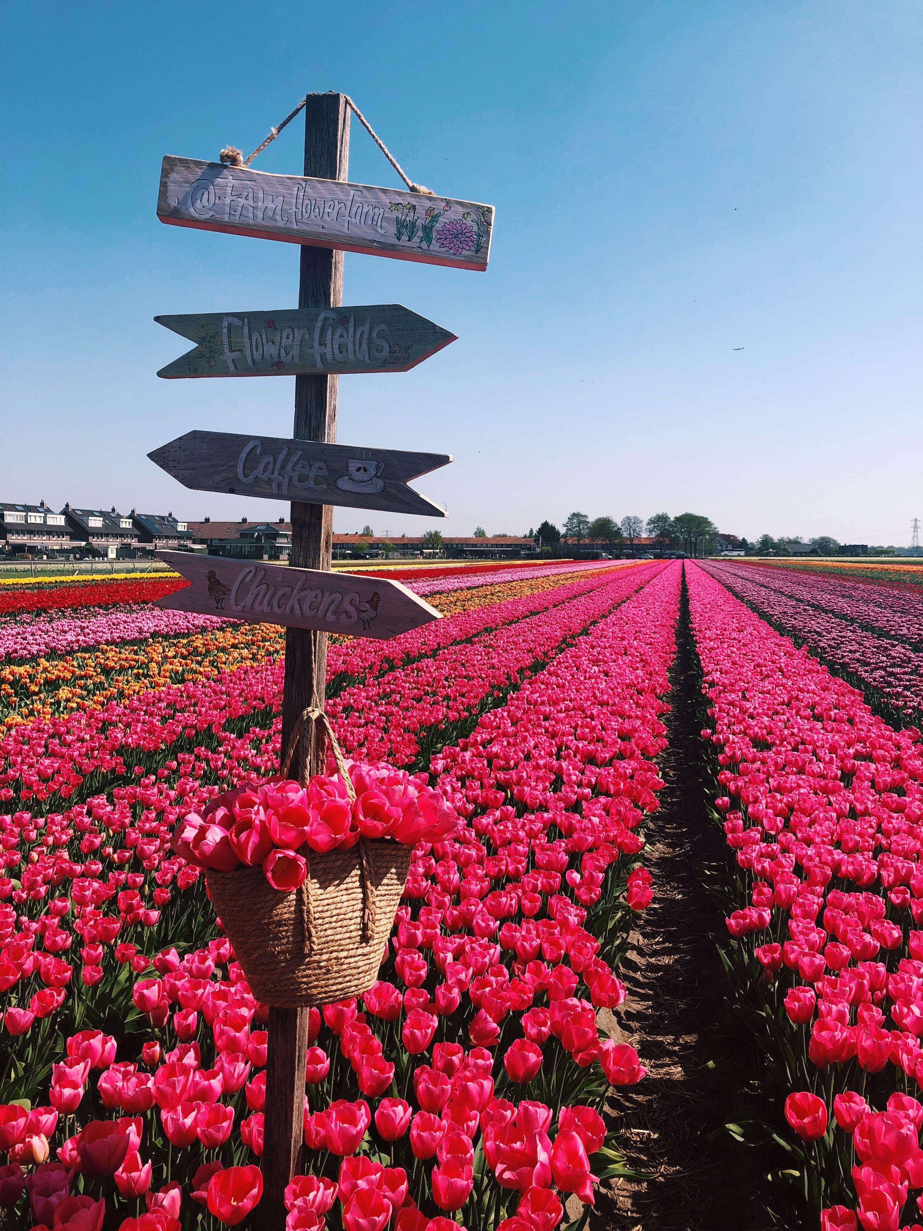 Tulip Fields Lisse Netherlands Private Tour At Fam Flower Farm Travel Wanderlust Tulipfields Flowerfields H Flower Farm Beautiful Gardens Tulip Fields