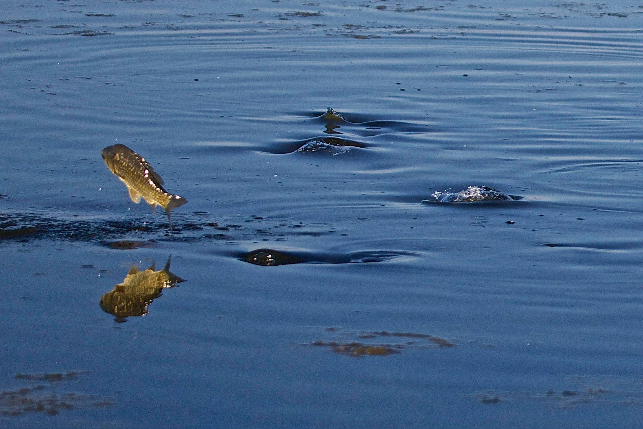 Salmistu kalad