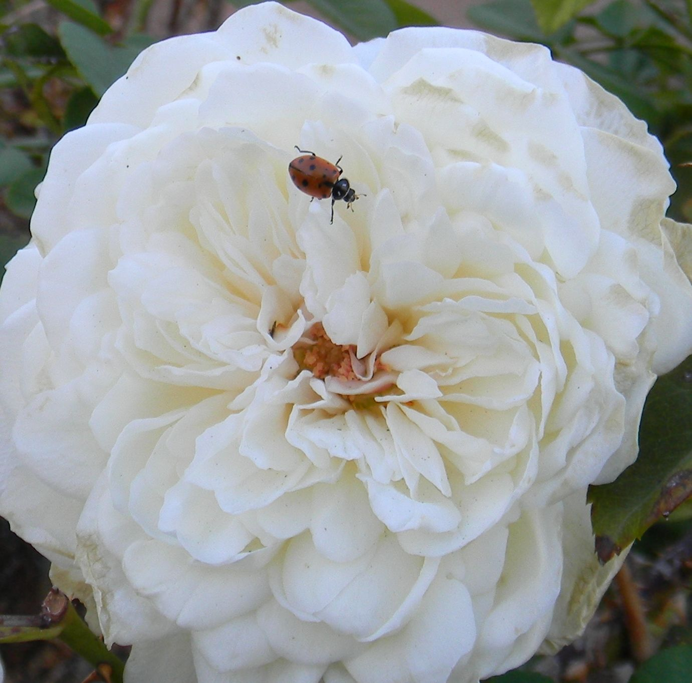 Glamis Castle English rose being patrolled by Hippodamia