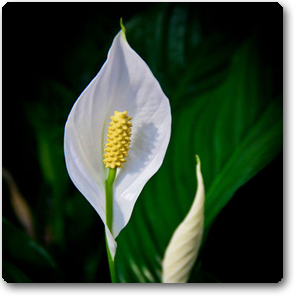 Peace Lily Spathiphyllum Plant Now From Indias Largest Online Nursery At Best Price Get A Free Plastic Pot With