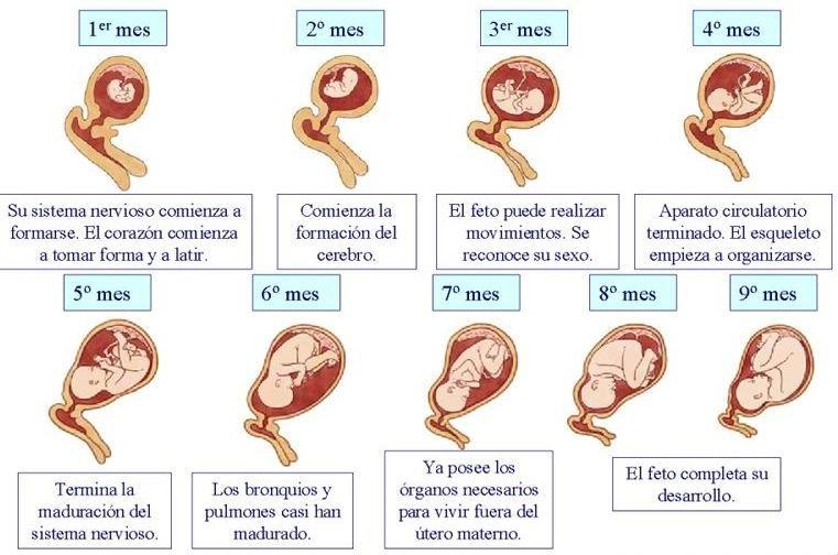 11538fad9 Desarrollo del feto Periodo Embrionario