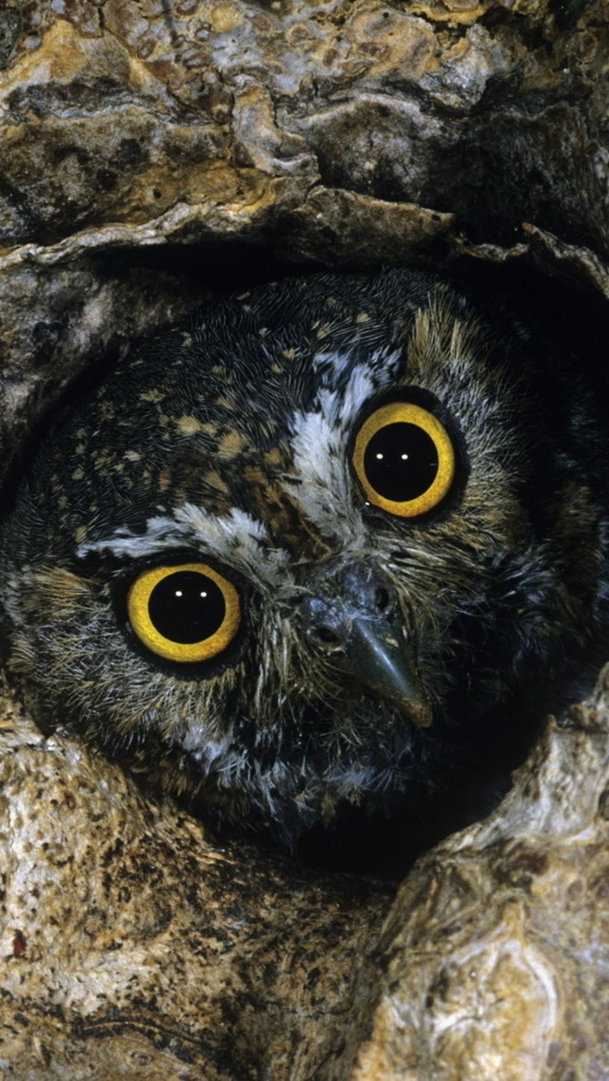 Galaxy S7 Wallpaper Elf Owl Owl Eyes Owl Facts