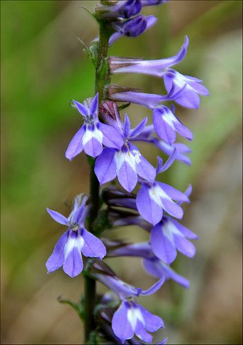 Indian Tobacco Lobelia Inflata Homeopathic Remedy Sources