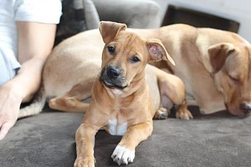 New York, NY Boxer. Meet Basil a Dog for Adoption. Pets