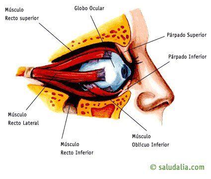 Sección de la órbita   enfermeria   Pinterest   Medicina, Anatomía y ...