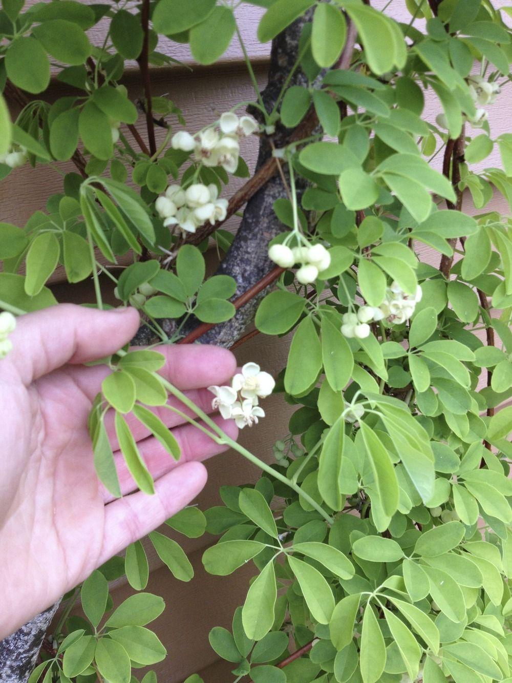 White Flower Chocolate Vine Akebia Quinata Shirobana Plants