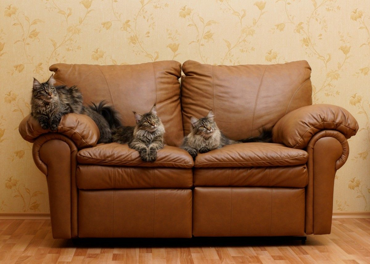 How To Clean Cat Urine On Leather Furniture Cat Urine Leather Furniture Cat Urine Smells