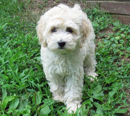 Paolo The Cocker Spaniel Mix Cocker Spaniel Mix Pet Dogs Puppies Cocker Spaniel