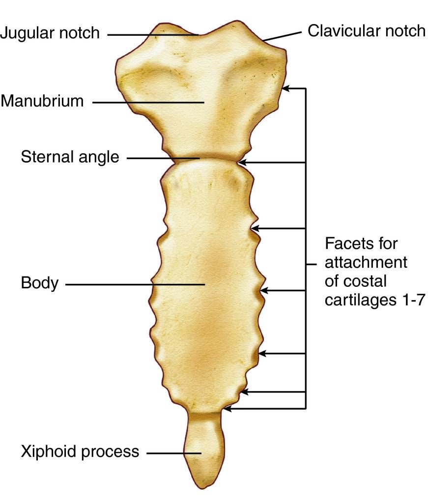 sternum anatomy bones gross anatomy human anatomy xiphoid process skeleton system  [ 871 x 1024 Pixel ]