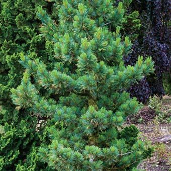 Home Trees Evergreens Stowe Pillar Eastern White Pine Makes A Narrow Column Great In Small Es