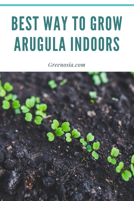 Growing Arugula Indoors : growing, arugula, indoors, Arugula, Indoors, Growing, Tomatoes, Seed,, Gardening, Books,