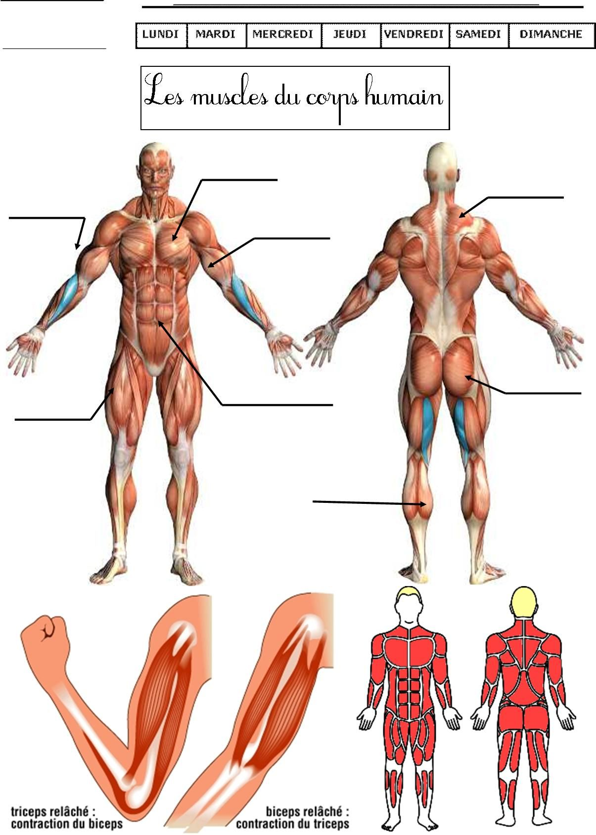 Les muscles du corps humain CE1 CE2   Sciences DDM Découvrir le ...