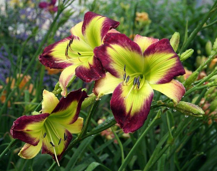 starburst mauve daylily - Google Search