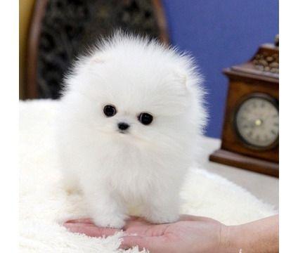 Aksdjbdj M F Tea Cup Pomeranian Pomeranian Puppy For Sale White Pomeranian Puppies Baby Pomeranian