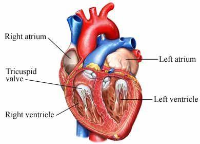 Tricuspid valve lesions tricuspid stenosis nursing cardiac tricuspid valve lesions tricuspid stenosis ccuart Gallery