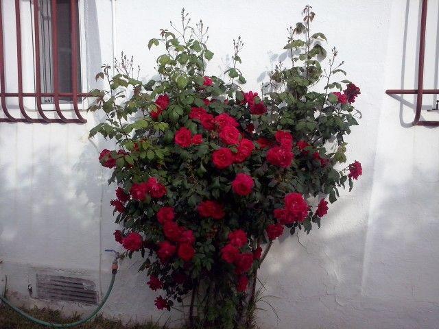 Rosal floribundo, muy llamativo por la cantidad de flores que tiene
