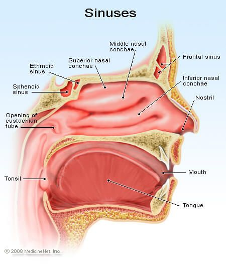 Picture Of The Detail Sinuses