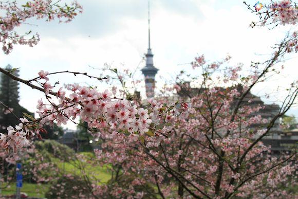 Florada das Cerejeiras em Auckland