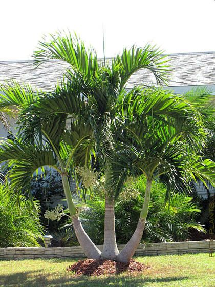 Christmas Palm Tree Palm Trees Landscaping Palm Trees Garden Palm Garden