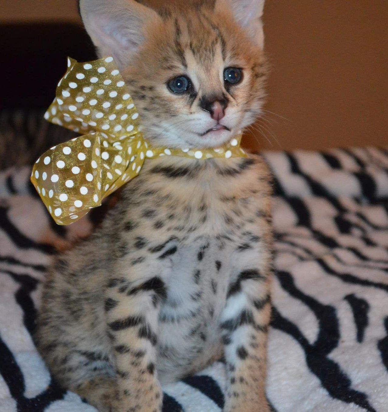 trained exotic cats cheetah cubs serval kitten caracal