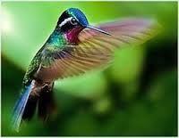 colibríes - Buscar con Google