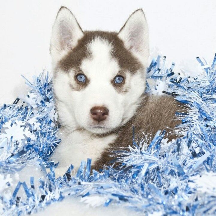 Blue eyed puppy animals beautiful siberian husky