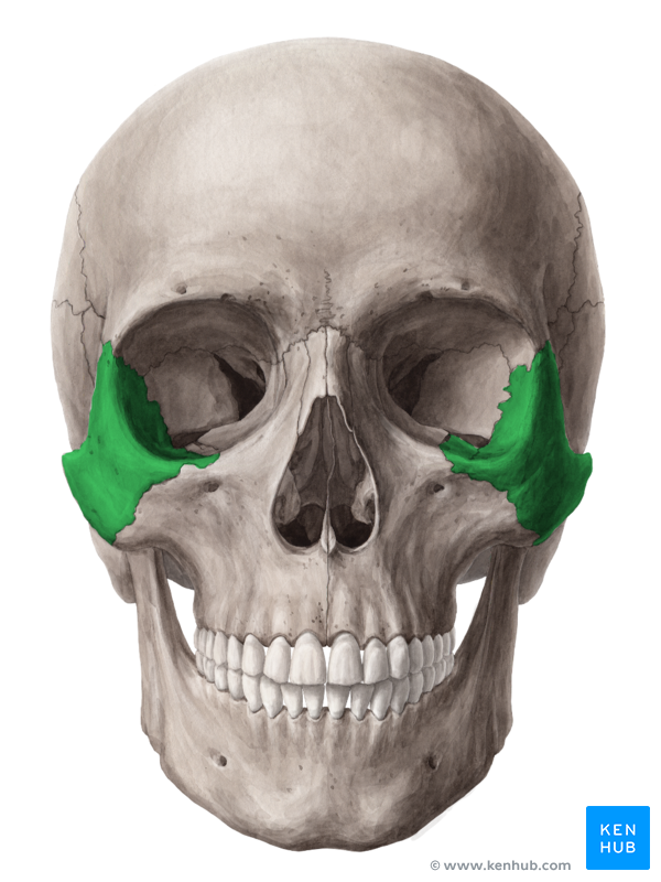 The Zygomatic Bone Sciences Pinterest Anatomy And Skull Anatomy
