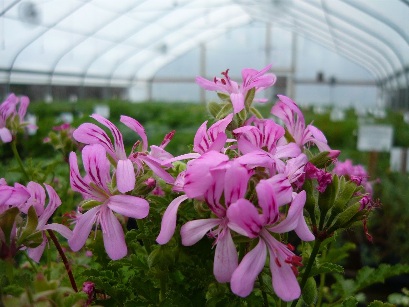 Welcome To Colonial Creek Farm Herbs Scented Geraniums And