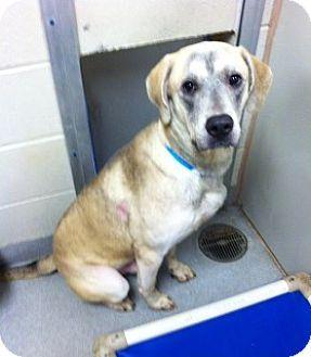 Joplin, MO - Labrador Retriever Mix. Meet Brayden 101559, a dog for adoption. http://www.adoptapet.com/pet/11543927-joplin-missouri-labrador-retriever-mix